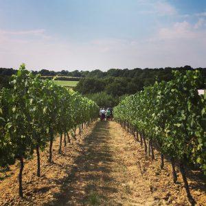 Walking amongst the vines at Bluebell Vineyard Estate