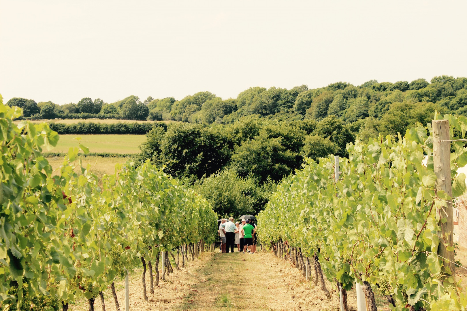 Walking amongst the vines at Bluebell Vineyard Estate